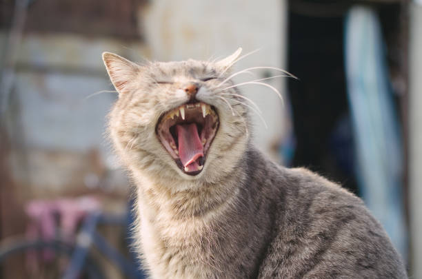 Cat yawns with a wide open mouth picture id985266340?b=1&k=6&m=985266340&s=612x612&w=0&h=q4qrz1pf8j3rp6itxklh1hw4q8vhiylgsoobq199bde=