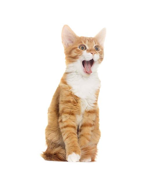Cat yelling on white background picture id498887184?b=1&k=6&m=498887184&s=612x612&w=0&h=zqryftq alnziowemvzsilgptbljqwizxytyqtgfpxm=