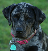 Catahoula Cur Leopard Dog On A Spring Day Stock Photo - Download