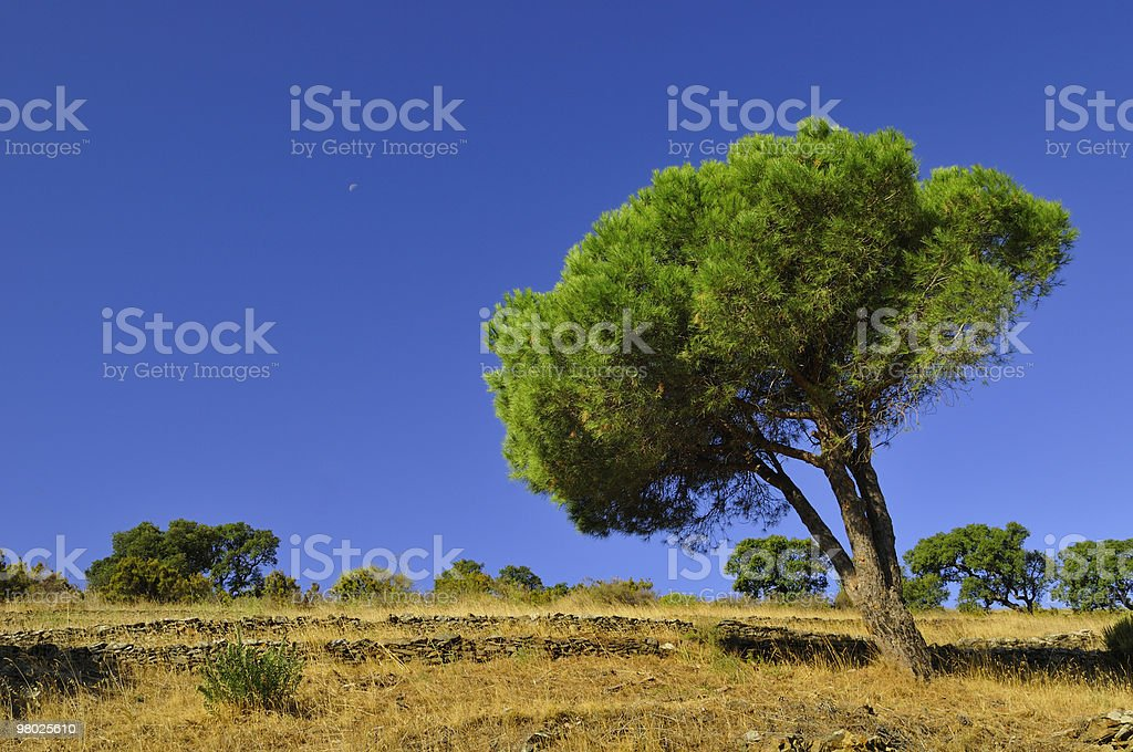 catalonia pine royalty-free stock photo