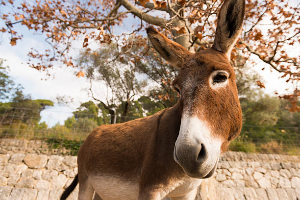 Catalonian donkey stock photo