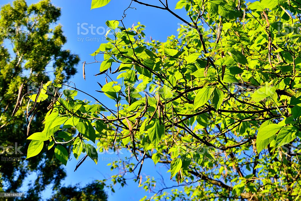 Catalpa bignonioides. Leaves and fruits closeup stock photo