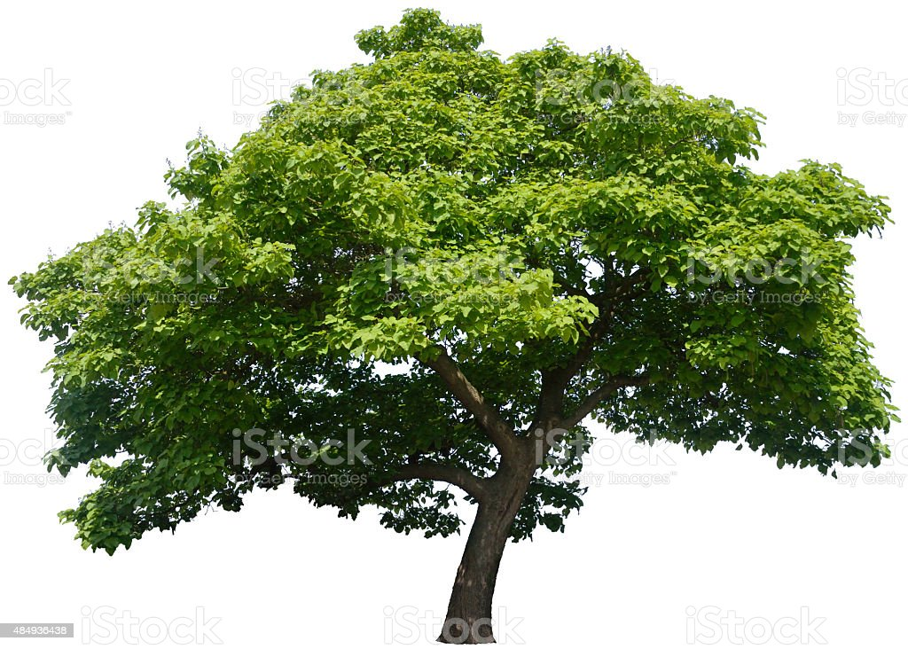 Catalpa bignonioides or Indian bean tree isolated on white stock photo