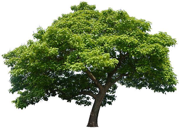 catalpa bignonioides oder indischen bean baum, isoliert auf weiss - trompetenbaum stock-fotos und bilder