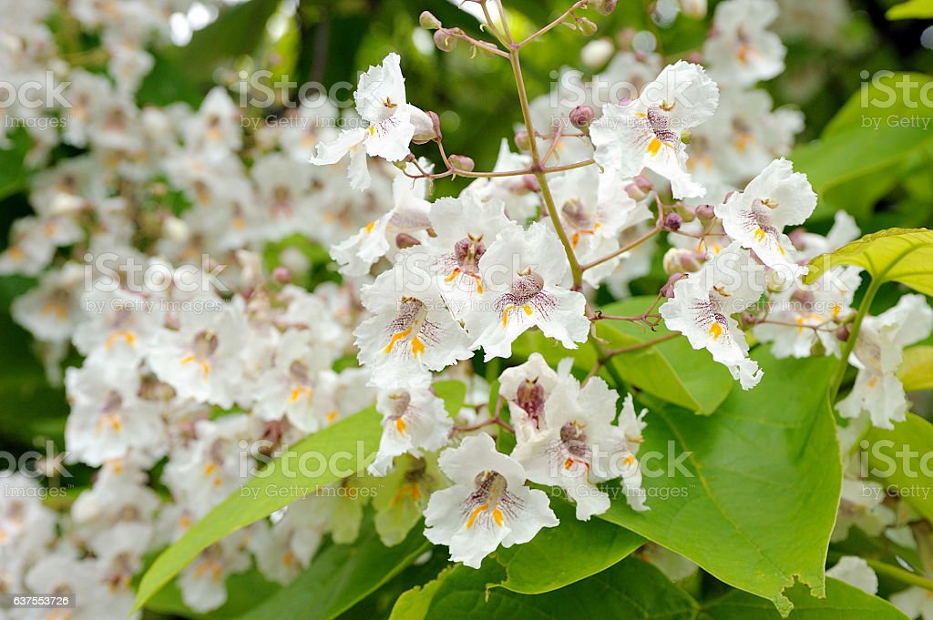 Catalpa bignonioides stock photo