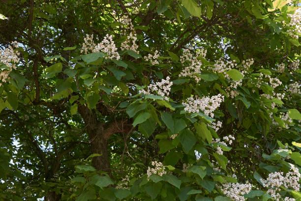 catalpa - trompetenbaum stock-fotos und bilder
