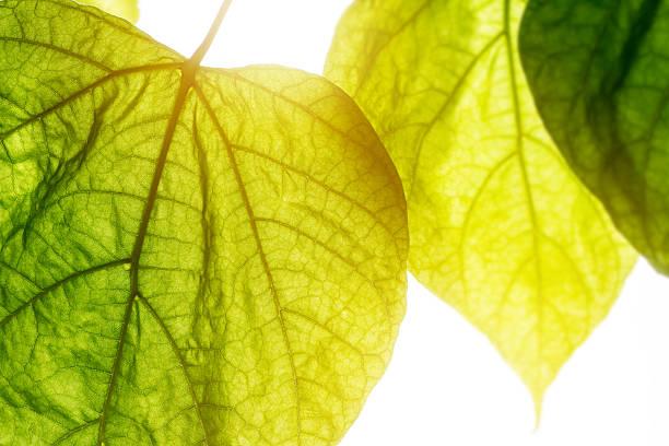 catalpa bignonioides tree big green leaf close-up under bright sunlight - trompetenbaum stock-fotos und bilder