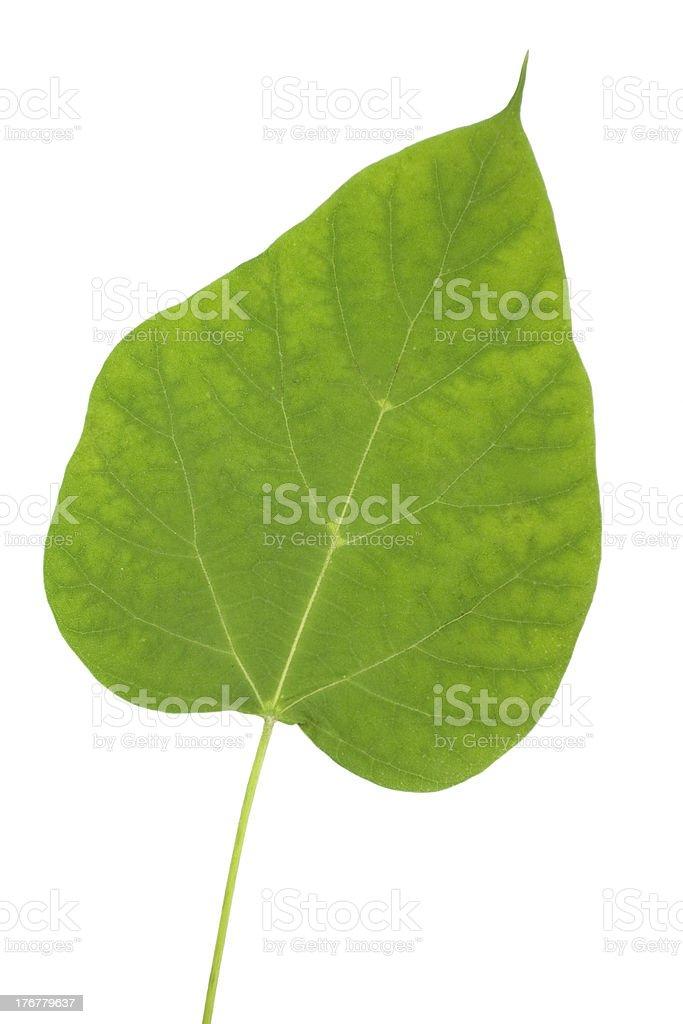 Catalpa bignonioides tree leaf royalty-free stock photo