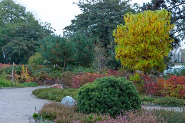 catalpa bionniform im herbst park - trompetenbaum stock-fotos und bilder