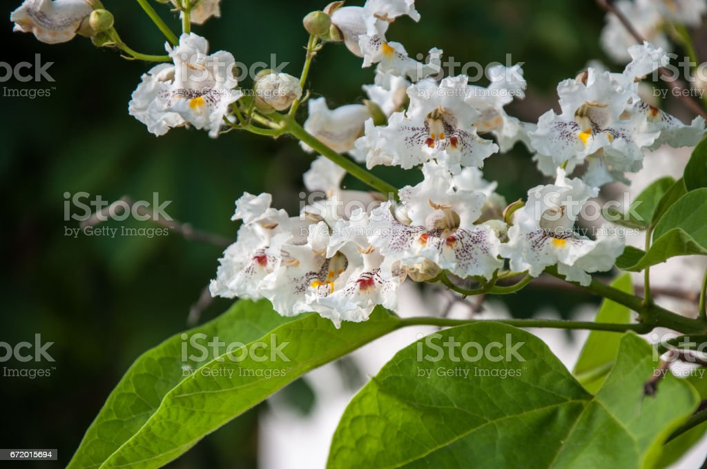 Catalpa bloom in the summer stock photo