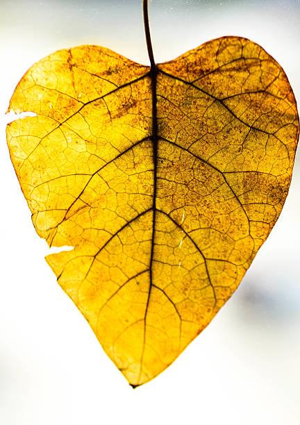 catalpa leaf, trocken - trompetenbaum stock-fotos und bilder
