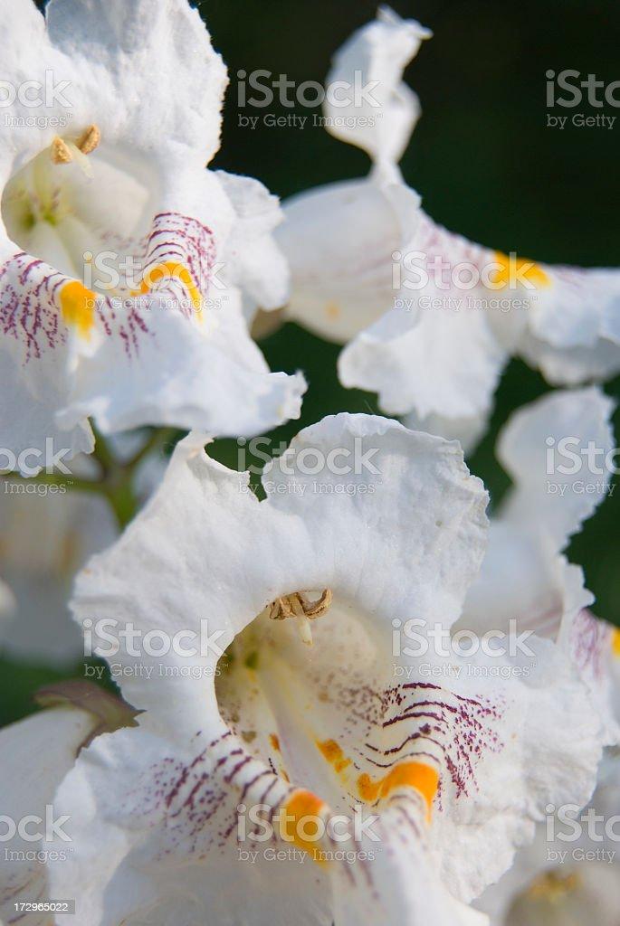 Catalpa or Catawba Tree Blooms royalty-free stock photo
