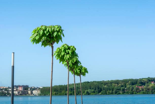 catalpa. zierbäume im park. - trompetenbaum stock-fotos und bilder