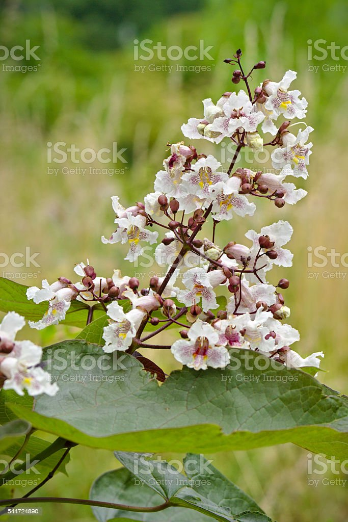 Catalpa ovata flower stock photo
