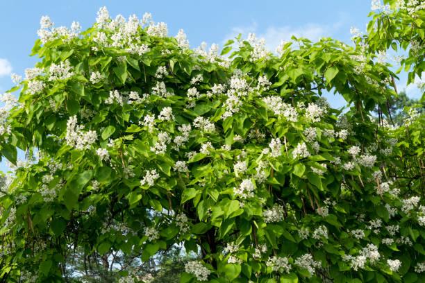 catalpa speciosa weiße blumen und blätter. - trompetenbaum stock-fotos und bilder