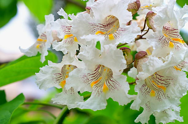 catalpa tree flowers - trompetenbaum stock-fotos und bilder