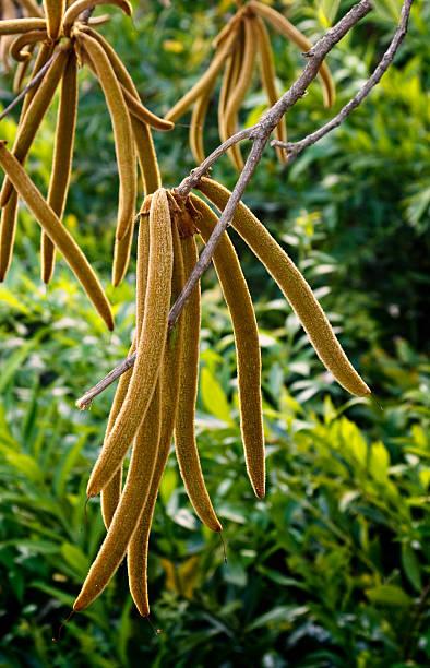 catalpa-obst - trompetenbaum stock-fotos und bilder