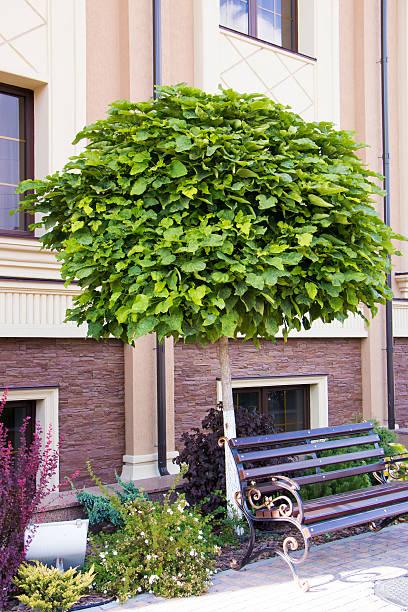 catalpa tree growing in rockeries on the building background - trompetenbaum stock-fotos und bilder