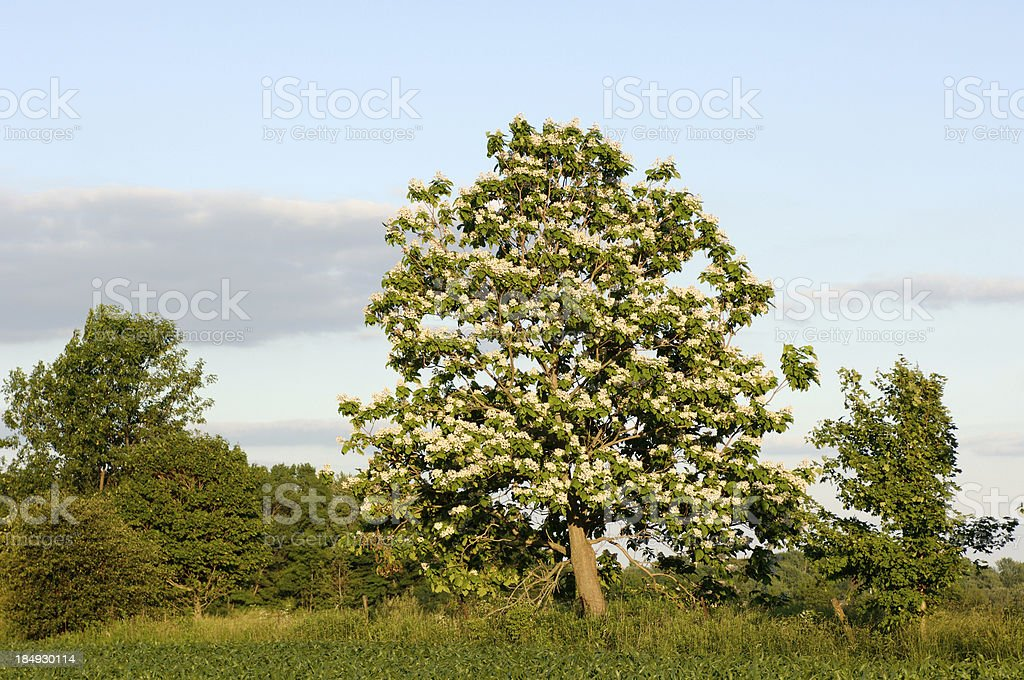 Catalpa Tree in Bloom stock photo