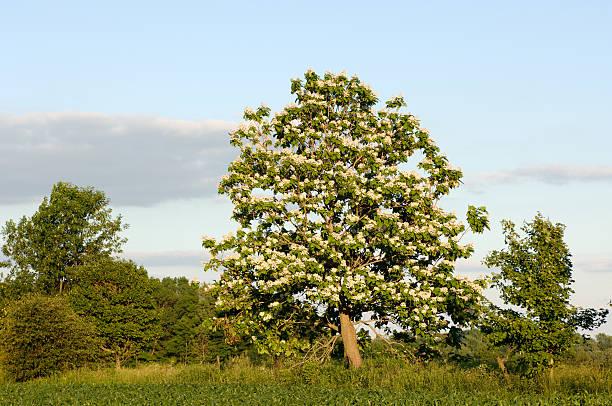 catalpa baum in voller blüte - trompetenbaum stock-fotos und bilder