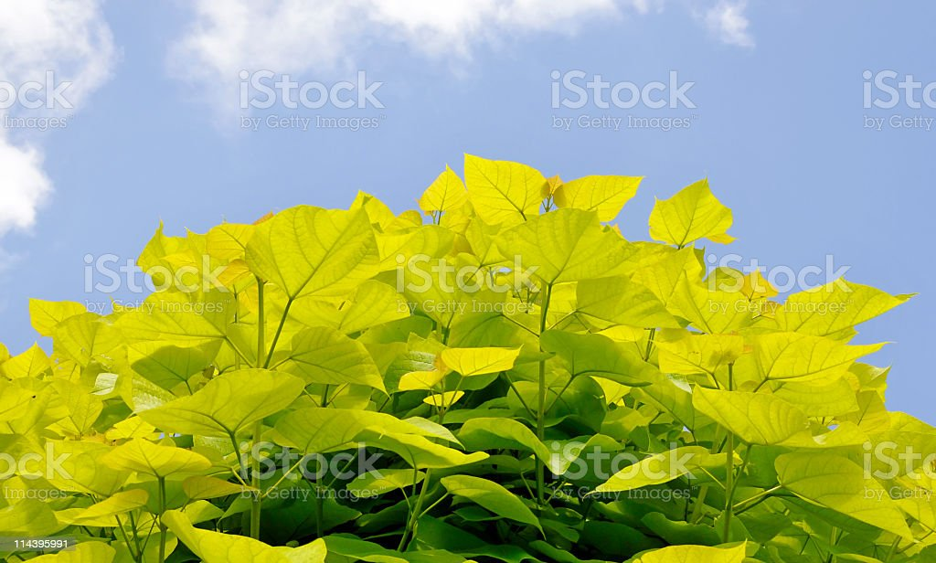 Catalpa tree stock photo