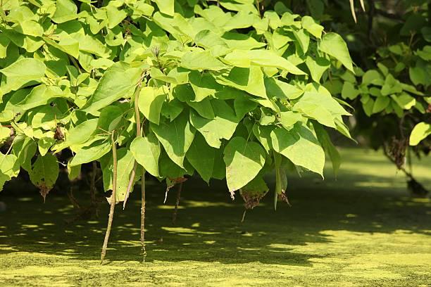 catalpa tree - trompetenbaum stock-fotos und bilder