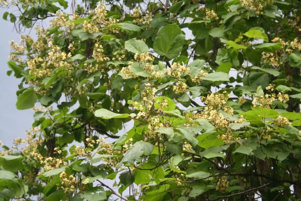 catalpa-baum mit gelben blüten - trompetenbaum stock-fotos und bilder