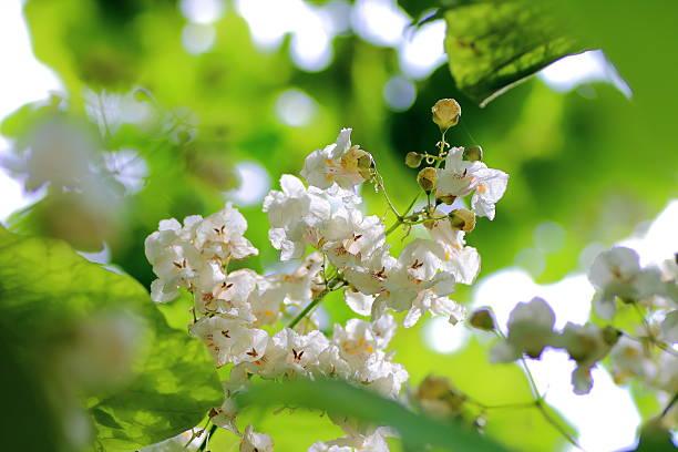 catalpa weißen blumen - trompetenbaum stock-fotos und bilder