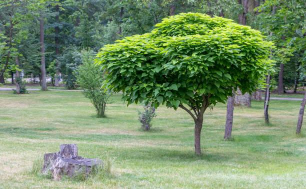 catalpa mit einer schönen krone auf dem grünen rasen auf im sommertag - trompetenbaum stock-fotos und bilder