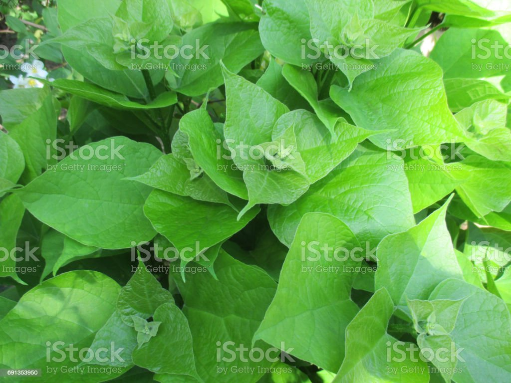 Catalpas Green leaves Deciduous tree stock photo