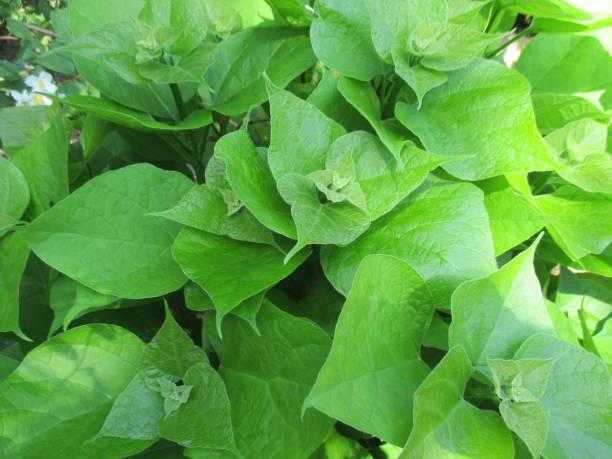 aus grünen blättern laubbaum - trompetenbaum stock-fotos und bilder
