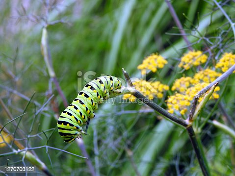 closeup of green catepillar that will become a swallow tail butterfly