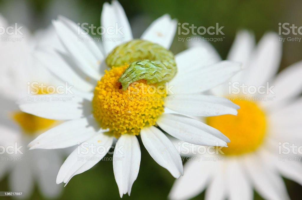 catapillar on wildflower Camomile - Echte Kamille (Matricaria chamomilla) stock photo