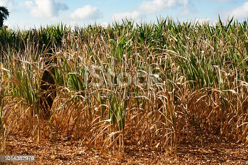 Catastrophic drought and heat in Europe, nature disaster, yellow dead corn fields in North Brabant, Netherlands