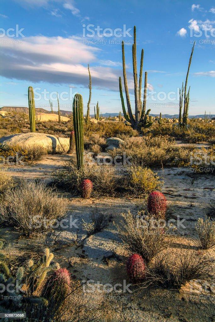 Cataviña cactus variety stock photo