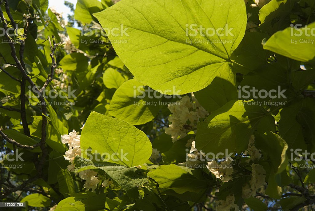 Catawba or Catalpa Tree stock photo