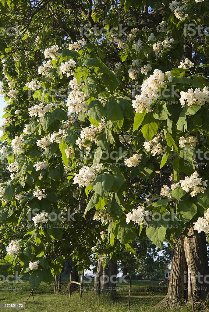 Catawba or Catalpa Trees stock photo