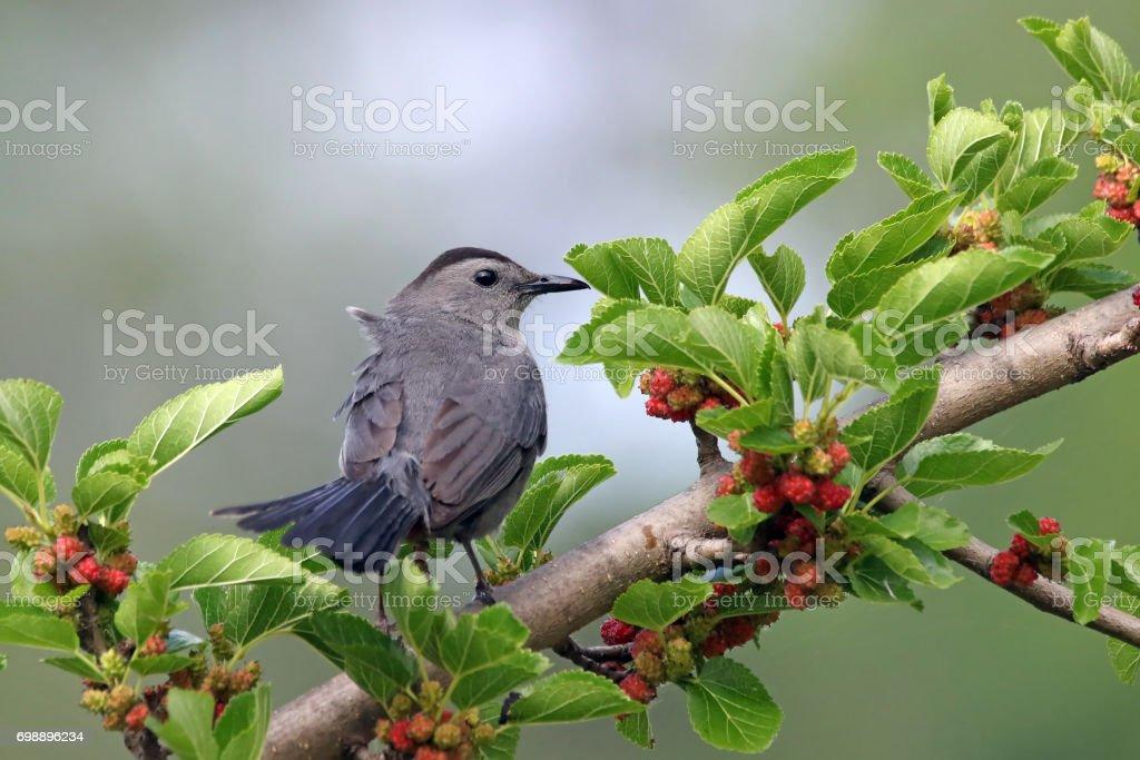 Catbird stock photo