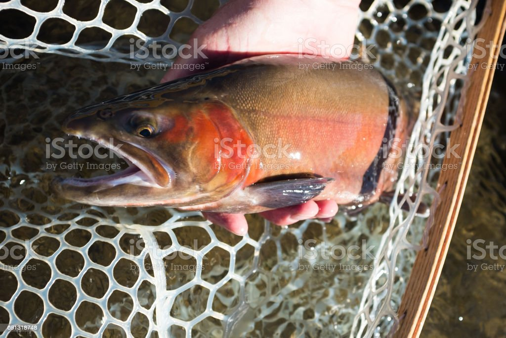 Catch and Release Cutthroat stock photo