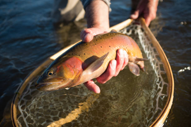 Catch and Release Cutthroat Catch and Release Cutthroat cutthroat stock pictures, royalty-free photos & images