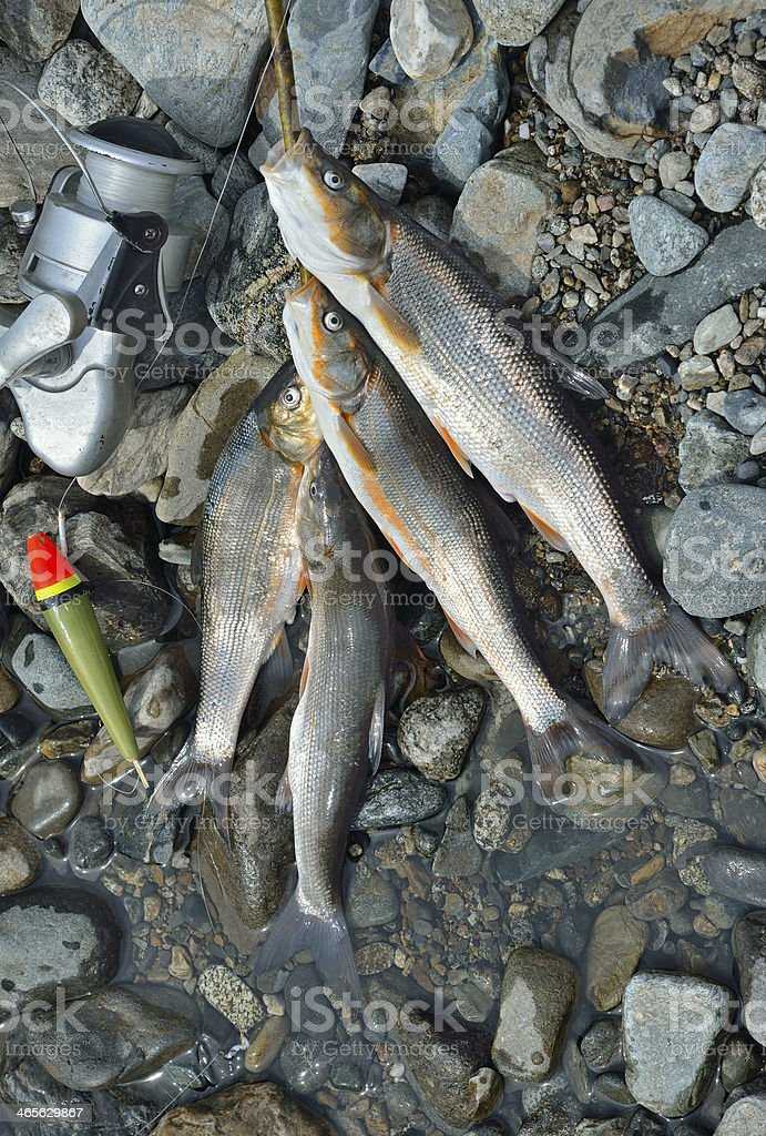Catch of fish royalty-free stock photo