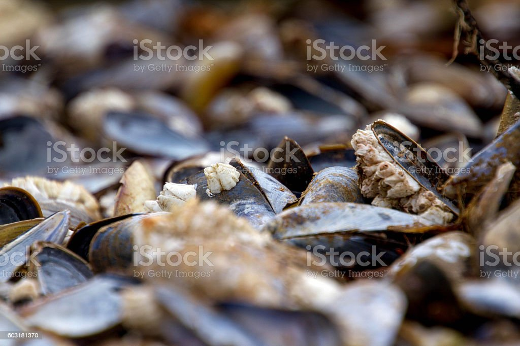 Catch of the day: scottish mussel stock photo