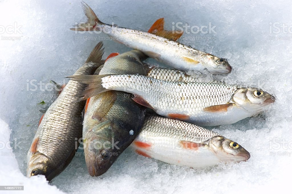 catch on ice royalty-free stock photo