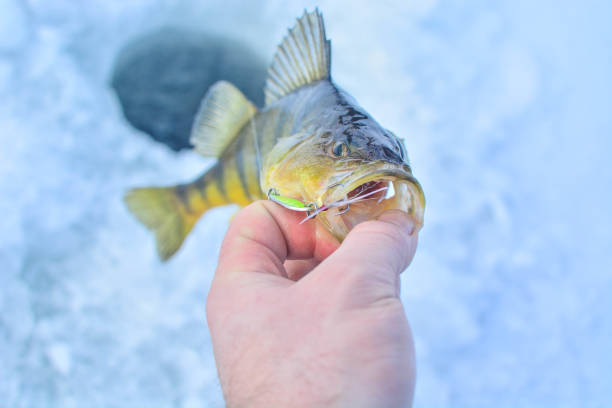 Catch on ice Catch that you eat perch fish stock pictures, royalty-free photos & images