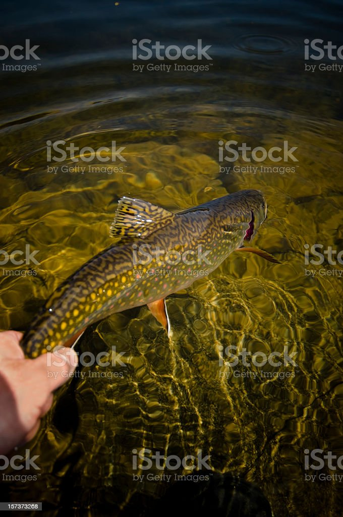 Catch Release Trout Fly fishing In The Mountains Of Colorado royalty-free stock photo