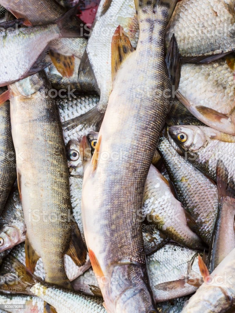Catched river fish stock photo