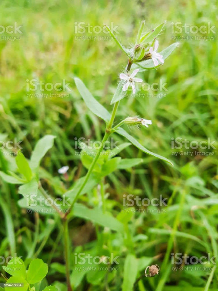 Catchfly or windmill pink stock photo