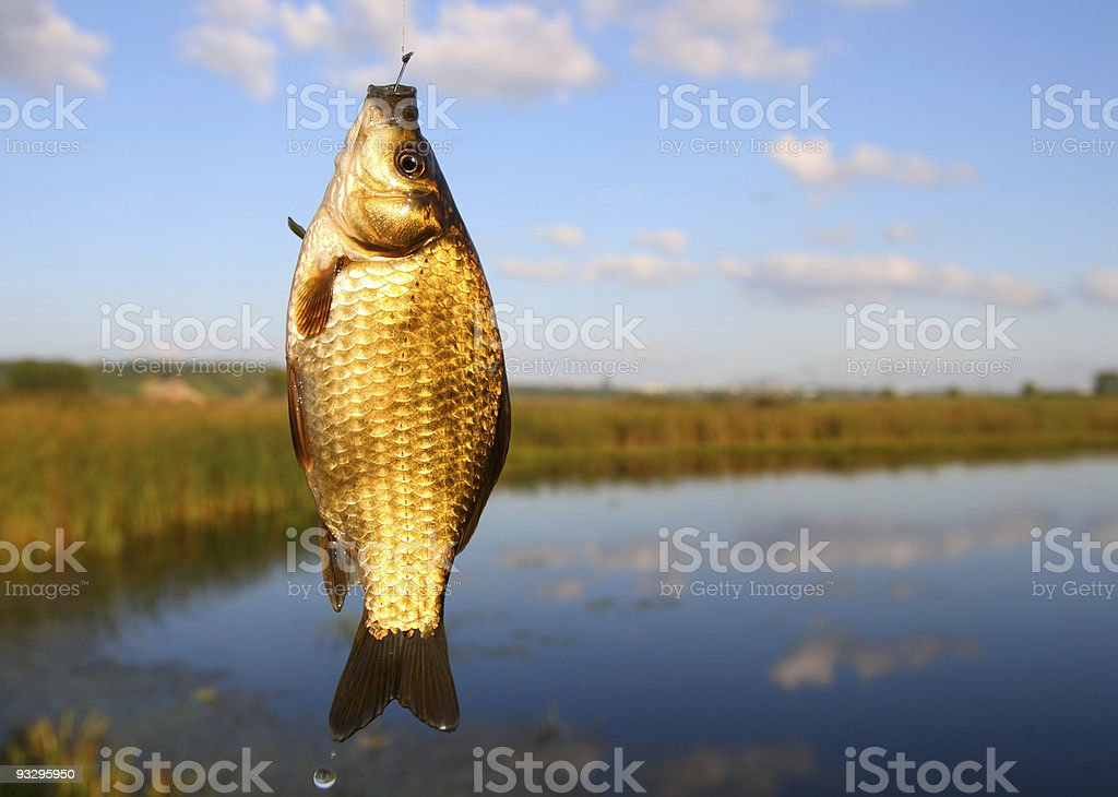 catching crucian on lake background stock photo