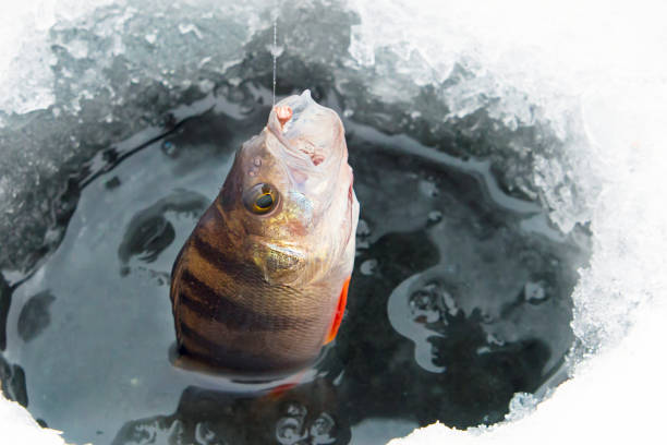 Catching freshwater fish on winter fishing rod. Catchability bait. Catching freshwater fish on winter fishing rod. Catchability bait. perch fish stock pictures, royalty-free photos & images