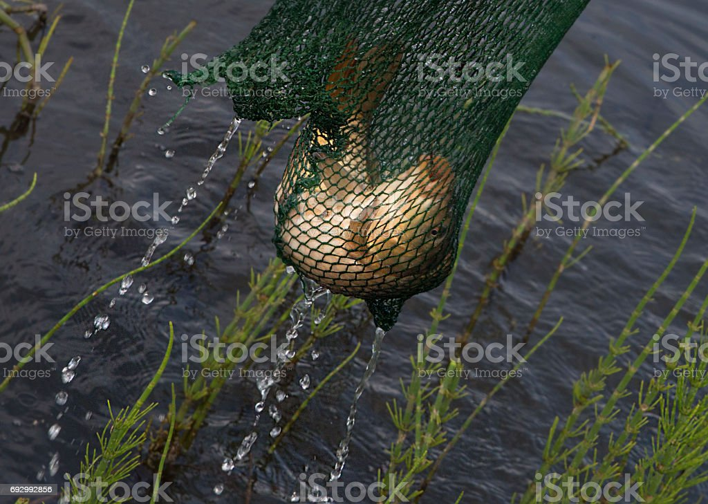 Catching of a carp on a reservoir. stock photo